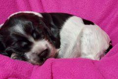 Puppy-1-2-Weeks-Old