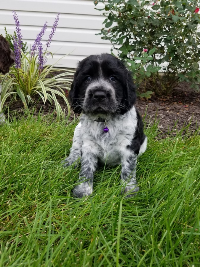 Puppy #1  - 5 Weeks Old