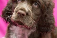 Puppy #2 - 7 Weeks Old